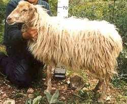 cheeselovers πρόβατο κεφαλλονιάς