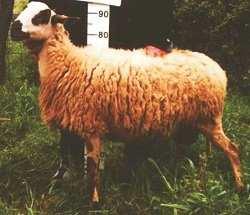 cheeselovers πρόβατο κύμη