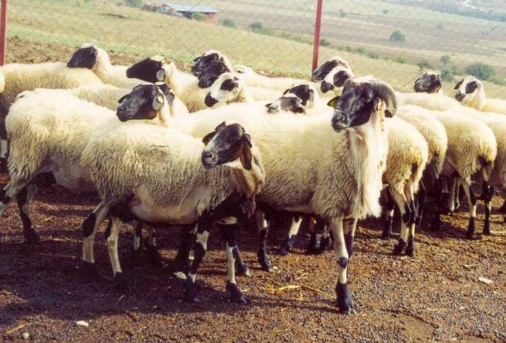 cheeselovers πρόβατο χιου